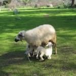 Casa Feronia Çevresinde Süt Vakti ;) - Time For Milking Around Casa Feronia ;)