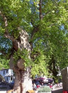 Orhaniye Güney Çevresi Bayır & Anıt Çınar 4